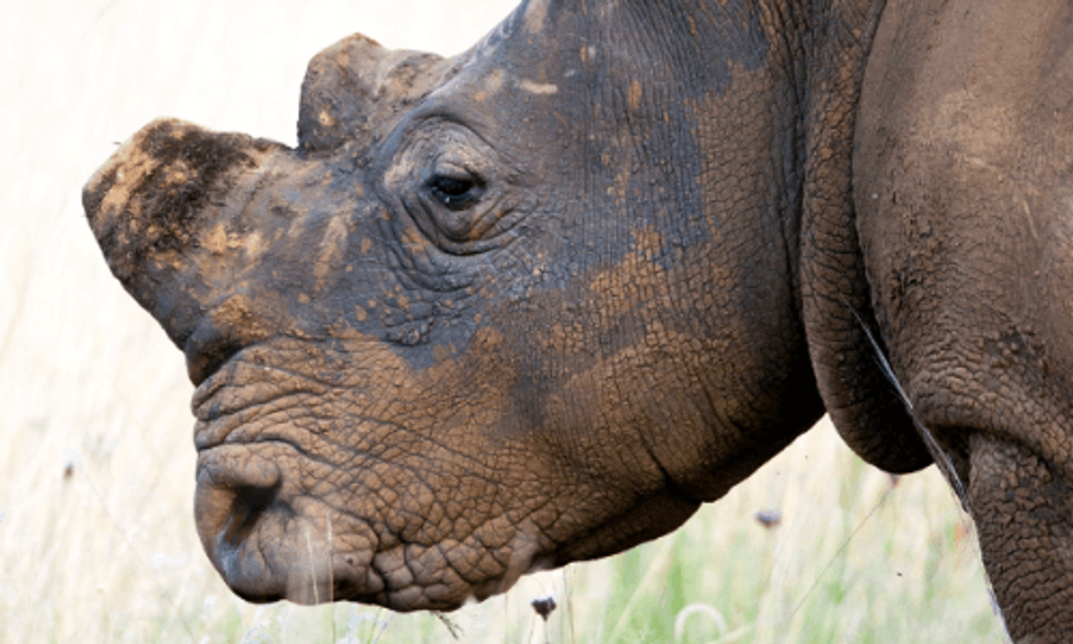 Can 3D-Printing Save Rhinos From Going Extinct?