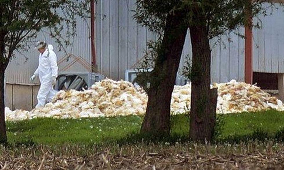 Nearly 40 Million Birds Dead as Avian Flu Ravages Midwest