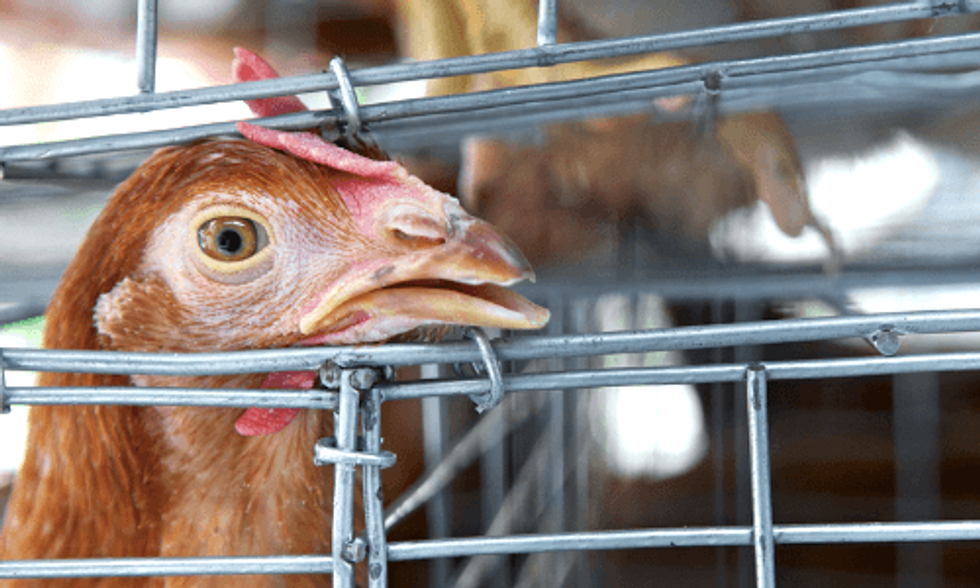 Avian Flu Epidemic Prompts CDC Warning of 'Potential for Human Infection'