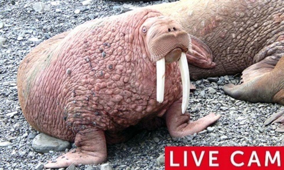 Watch Live Cam of 14,000 Walruses Chillin' on Alaskan Beach