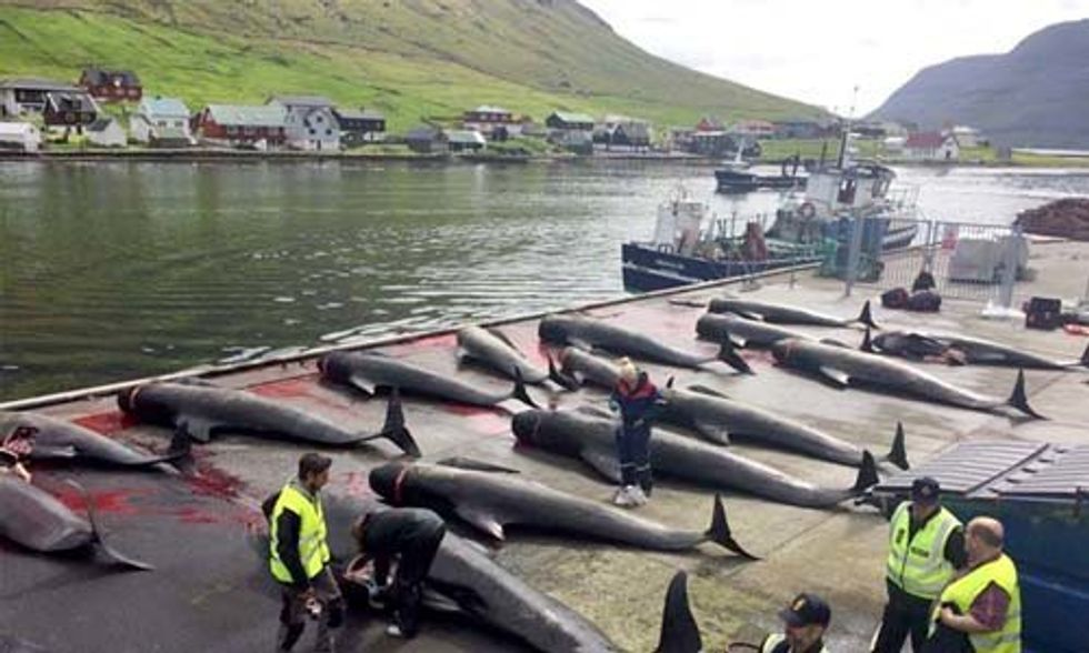 Pilot Whales Brutally Slaughtered in Yet Another Horrific Faroe Islands Grind