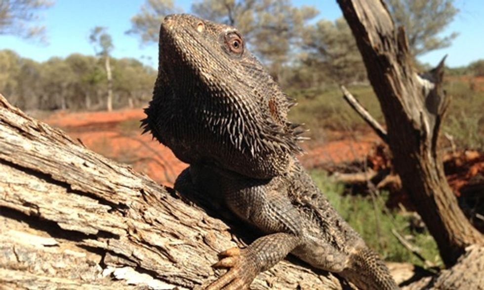 Extreme Heat Triggers Sex Change in Lizards