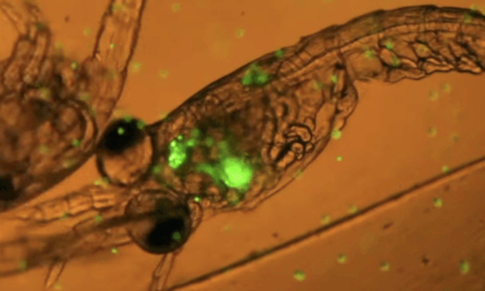 Plankton Eating Plastic Caught on Camera for First Time Ever