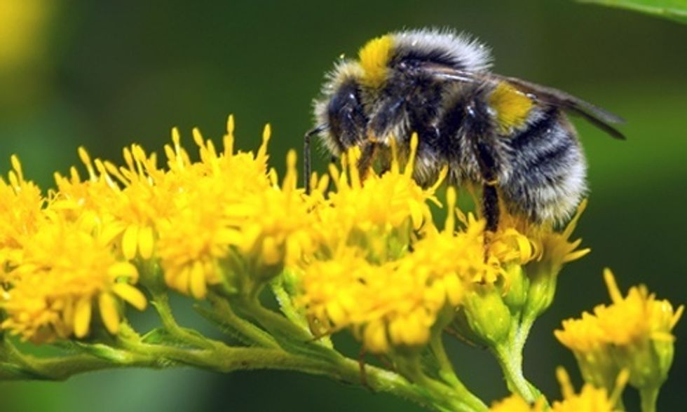 Climate Change Is a Major Buzz Kill for Bumblebees