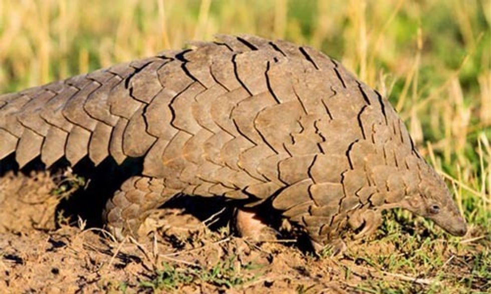 The Battle to Save the Endangered and Heavily Poached Pangolin