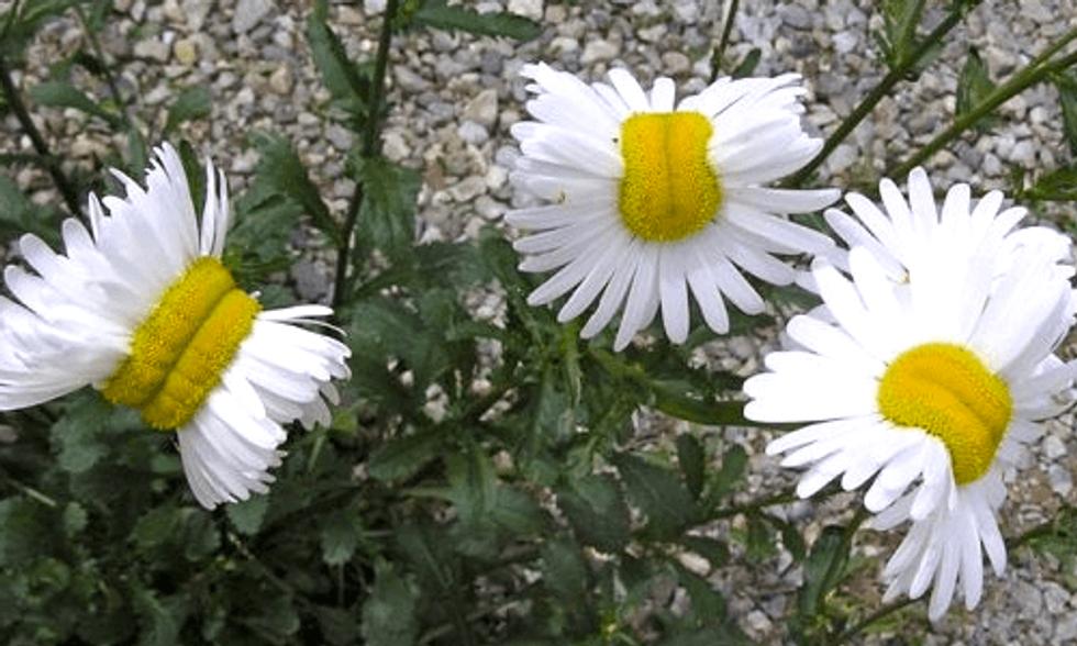 Photo of 'Mutant Daisies' Near Fukushima Goes Viral