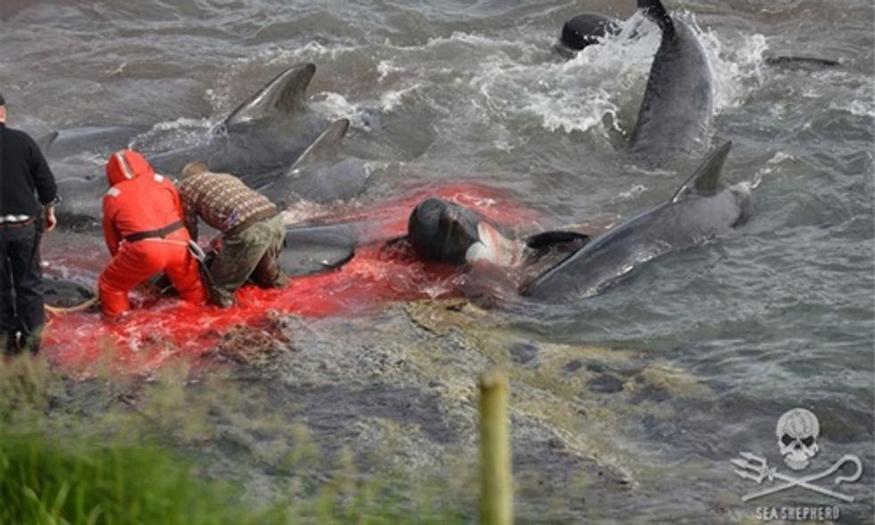 Slaughter of Pilot Whales Draws Global Outrage
