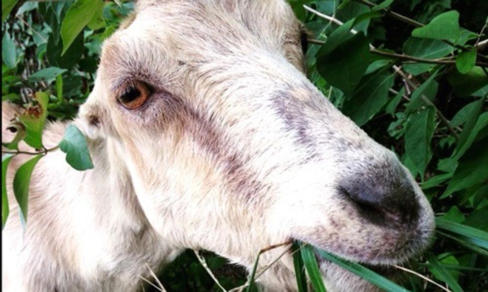 Hate Doing Yard Work? Rent a Goat