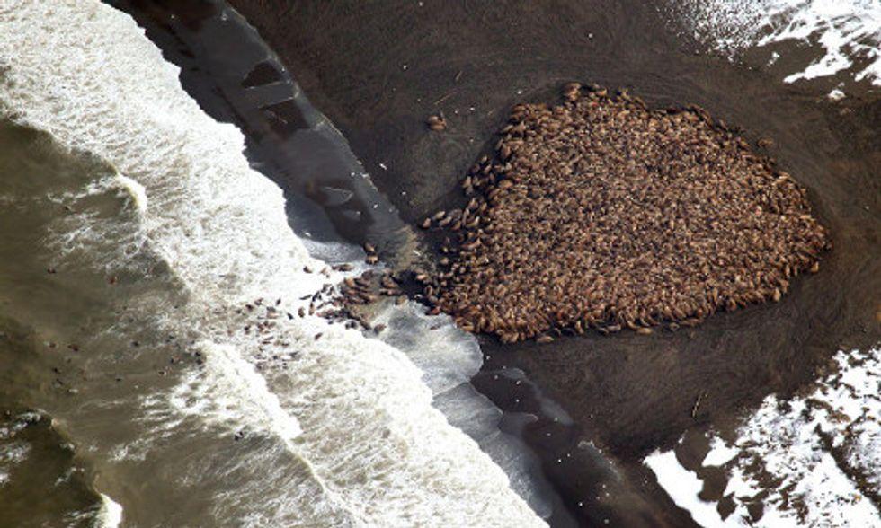 35,000 Walruses Invade Alaska Beach As Climate Change Melts Sea Ice