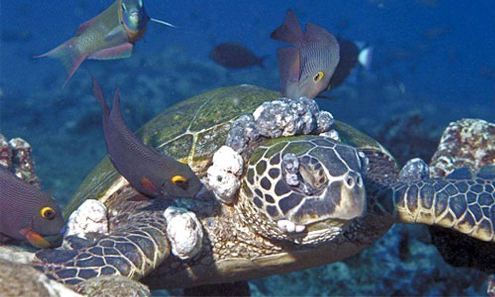 Green Sea Turtle Tumors Linked to Nitrogen Runoff From Farming