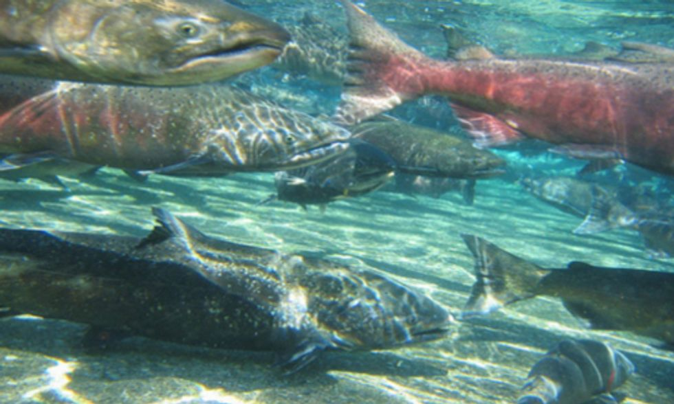 California Bans Genetically Engineered Salmon