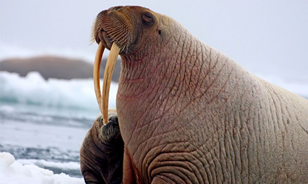 Lawsuit Filed to Protect Struggling Walruses from Arctic Oil Drilling