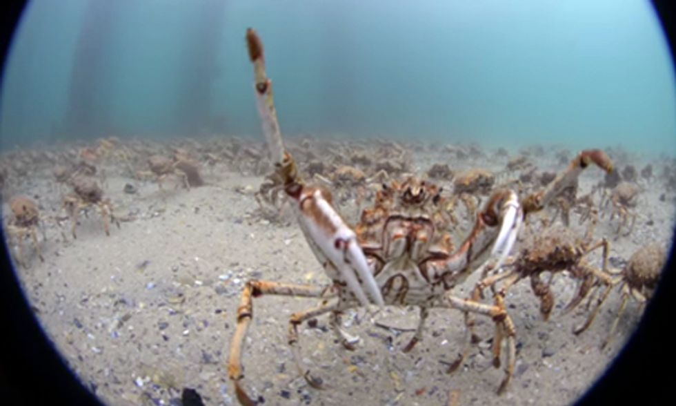 Watch Incredible Migration of Thousands of Giant Spider Crabs
