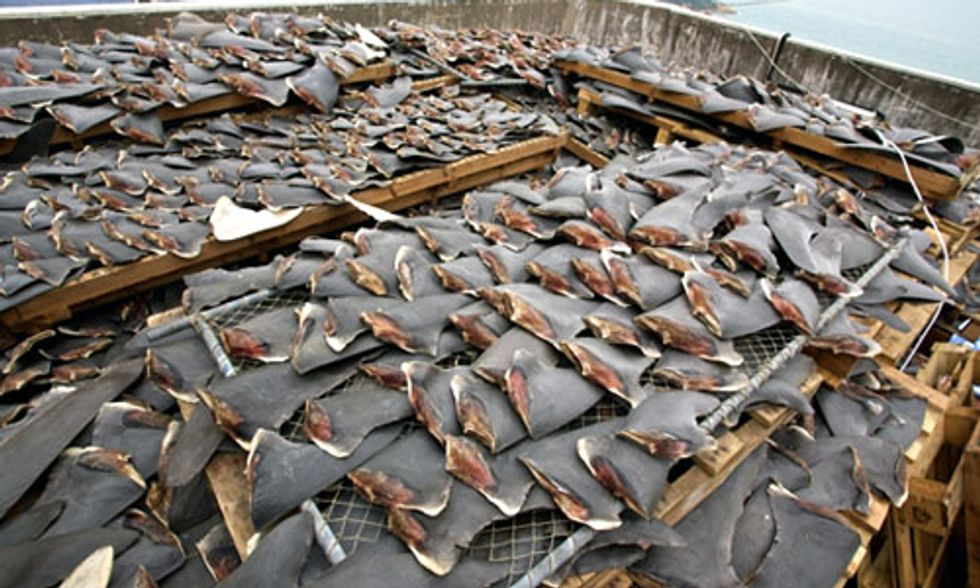 Shark Finning Kills 100 Million Sharks a Year, International Commission Fails to Address Crisis