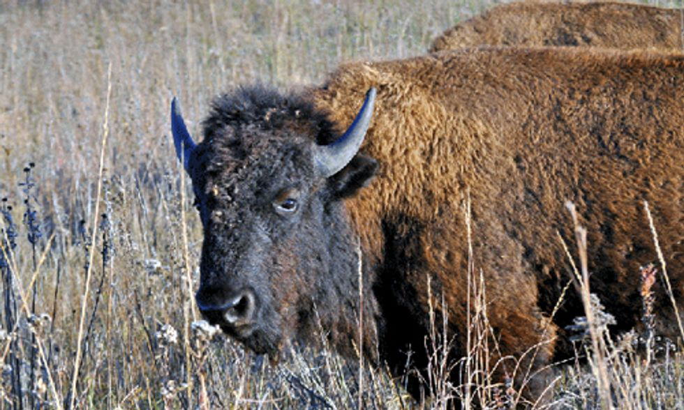 Wild Buffalo Roam East of the Mississippi for First Time Since 1830s