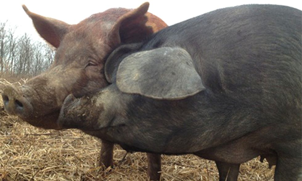 Why Chipotle's Pork Problem Is Good for Farmers