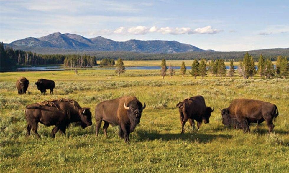405 Wild Bison Slaughtered in Yellowstone National Park So Far This Season
