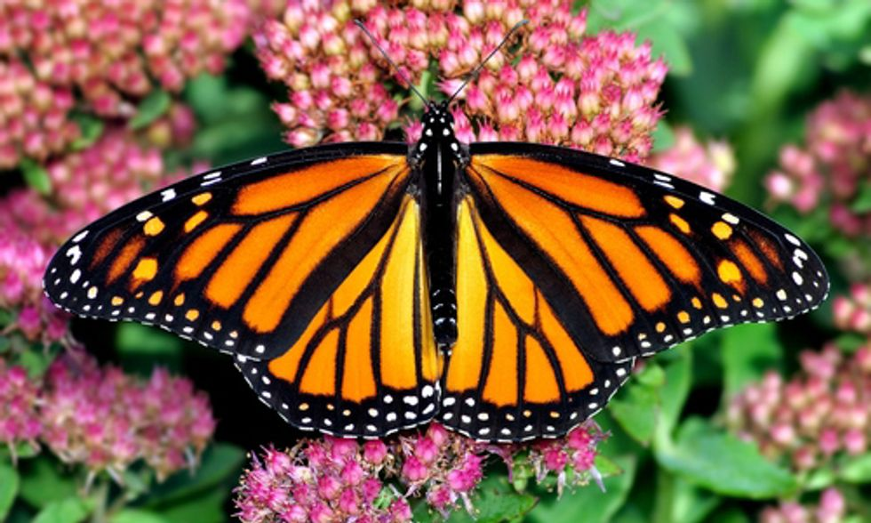 Monsanto's Roundup Ready Crop System Puts Monarch Butterflies at Brink of Extinction