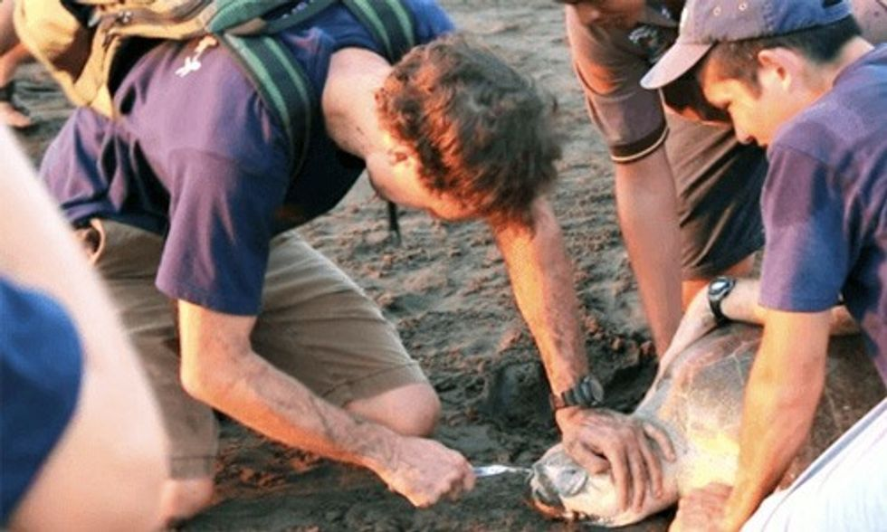 Exclusive Interview: Researchers Remove Plastic Fork Lodged in Sea Turtle's Nose