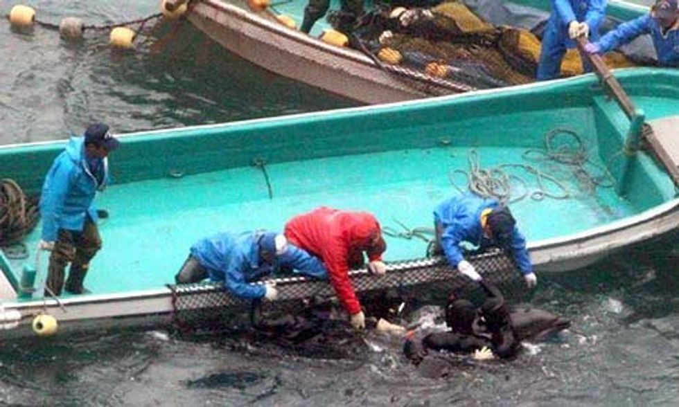 Bottlenose Dolphins Endure Brutal Capture and Slaughter in Taiji's Infamous Cove