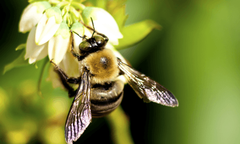 First-Ever National Wild Bee Map Shows Major Decline in Crucial Agricultural Regions