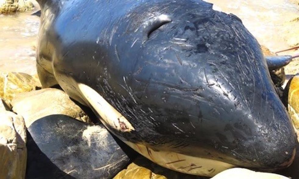 Yogurt Cups, Food Wrappers and a Shoe Found in Stomach of Dead Orca