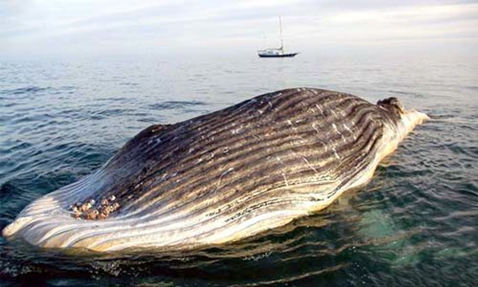 Dead Humpback Calf Found Entangled in Illegal Gillnet