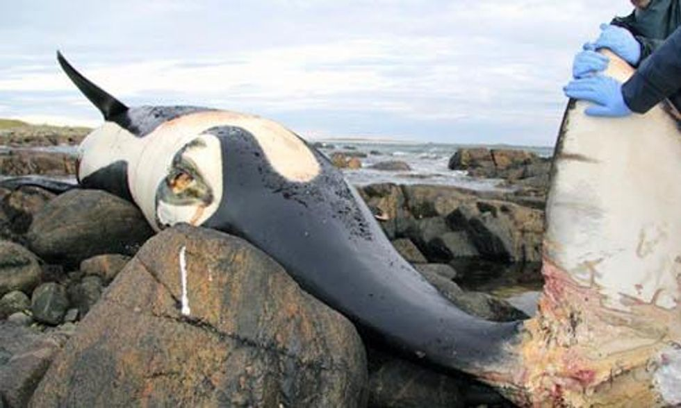 Beloved Orca Found Dead Due to Entanglement in Fishing Gear