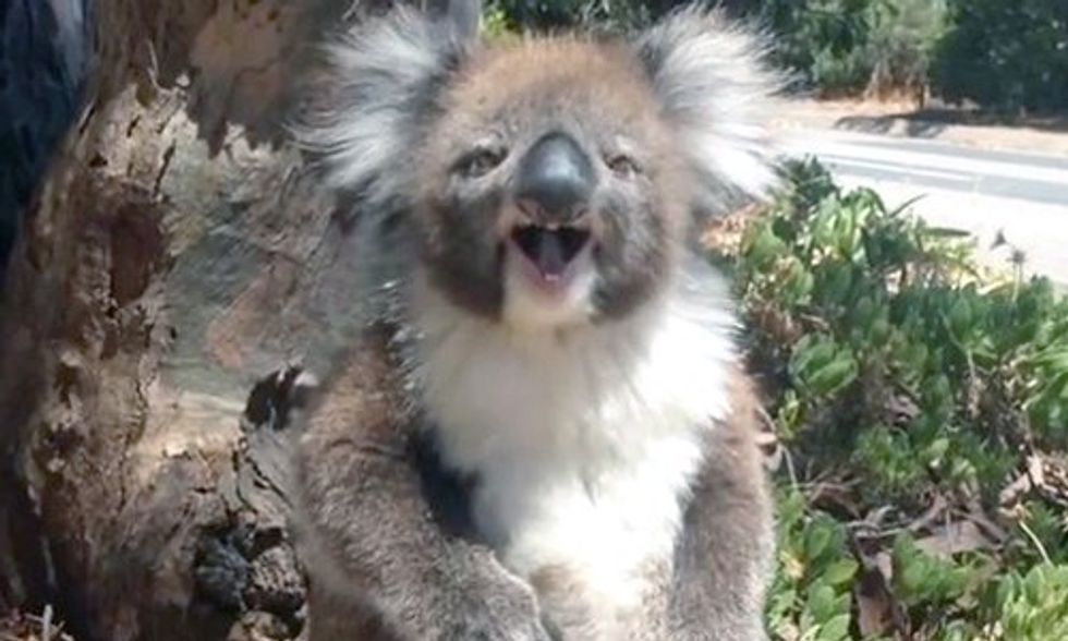 Viral Video Shows a Tiny Koala Getting Kicked Out of a Tree, Find Out Why