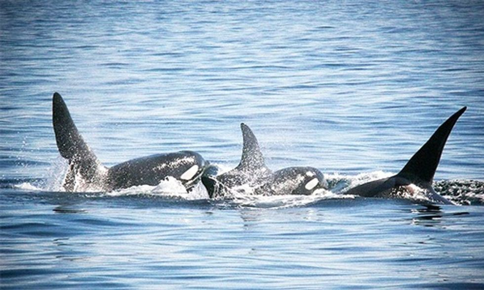 UK Whales and Dolphins at Risk of Extinction Due to High Levels of PCBs