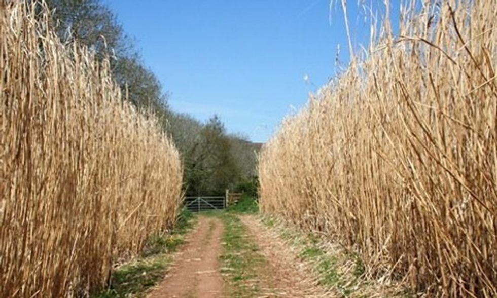 Elephant Grass and Prairie Switchgrass: Second Generation Biofuels to Power American Cars