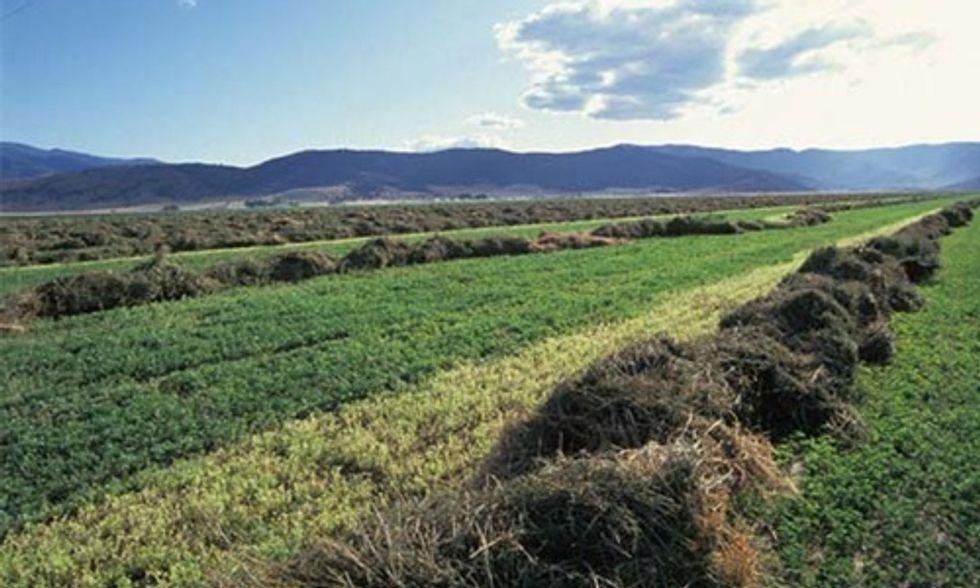 Monsanto's Genetically Engineered Roundup Ready Alfalfa Has Gone Wild