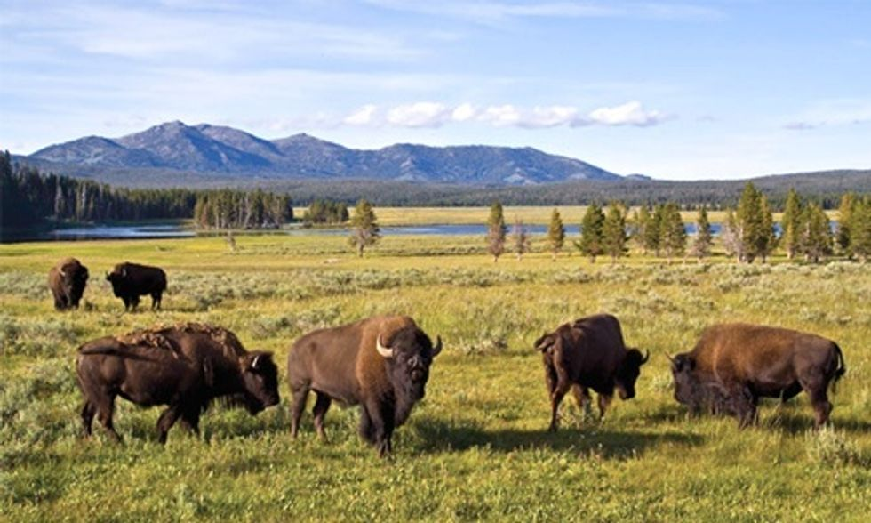 Slaughter of Up to 900 Wild Bison at Yellowstone Park Sparks Federal Lawsuit to Protect First Amendment Rights