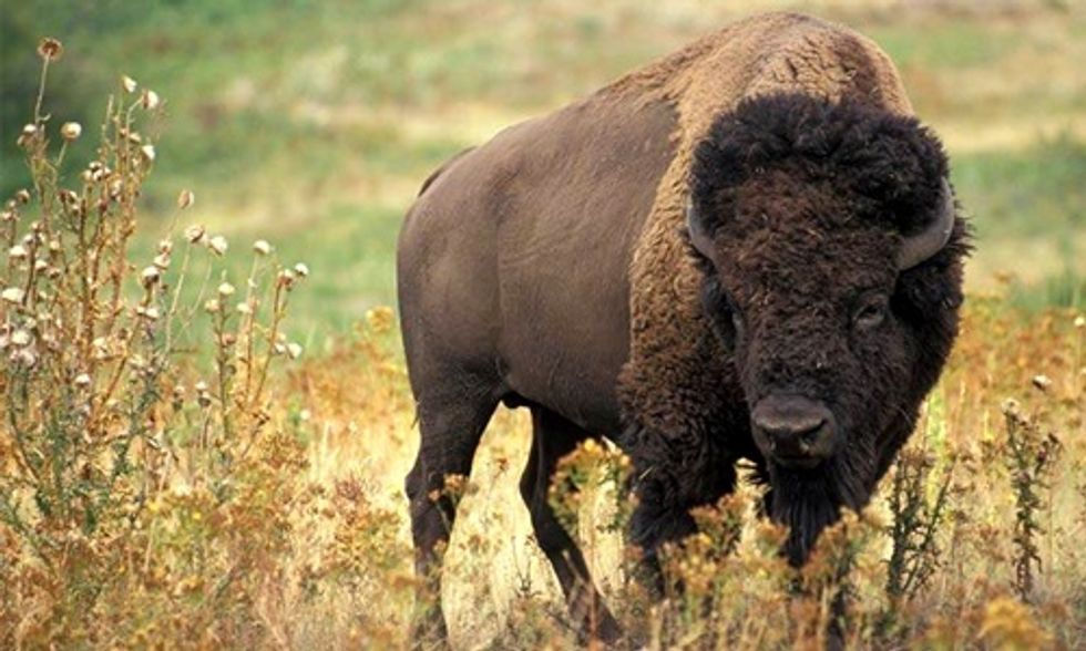 U.S. District Court to Hear Arguments for Preliminary Injunction to Halt Yellowstone Bison Slaughter