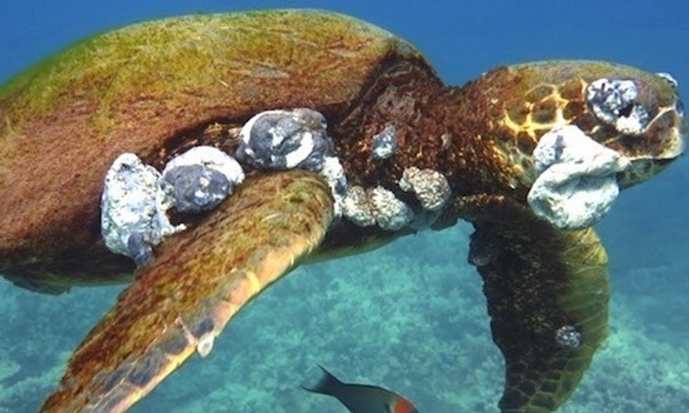 Gruesome Tumors on Sea Turtles Linked to Climate Change and Pollution
