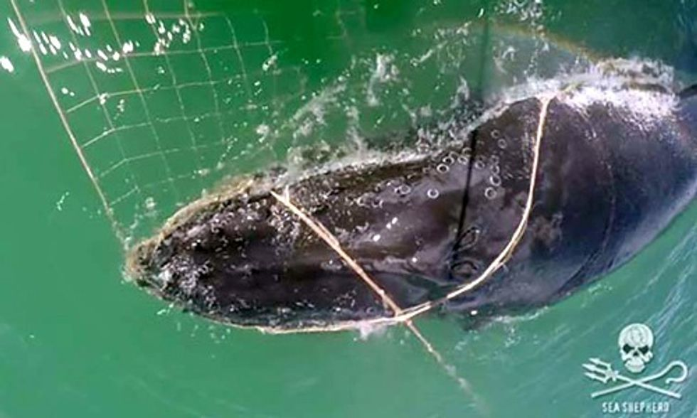 Humpback Whale Entangled in Illegal Gillnet Saved by Sea Shepherd Crew