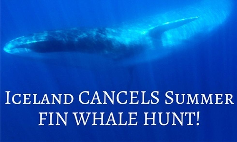 Iceland's Fin Whale Hunt Cancelled for 2016