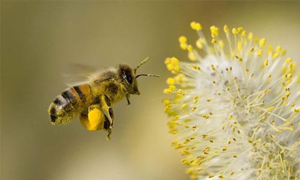 David Suzuki: We Must Save the Honeybees and Here's How You Can Help