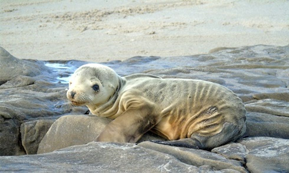 Scientists Find Answer to Why Thousands of Sea Lion Pups Are Starving