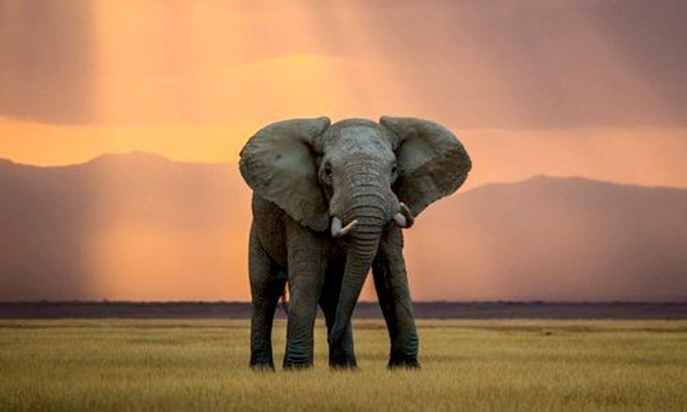 Elephants Being Slaughtered for Ivory Faster Than They Can Reproduce