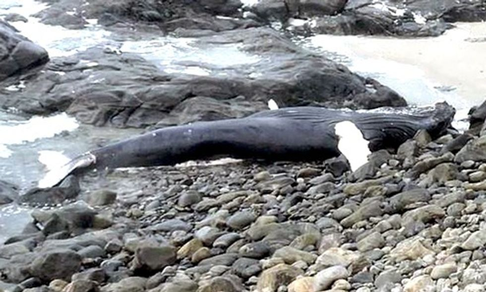 Young Humpback Whale Found Dead, Exposes Devastating Impacts of Ocean Trash