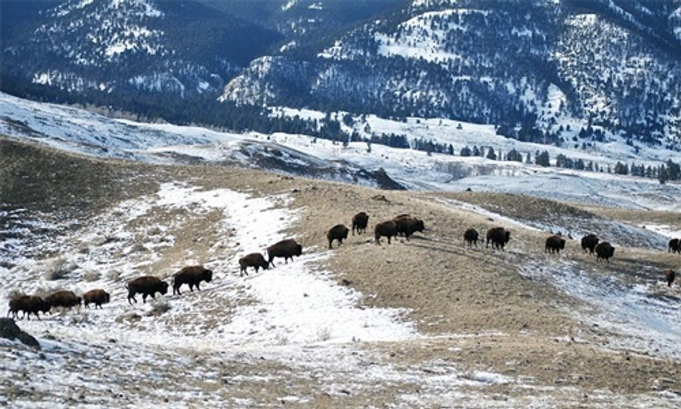 150 of America's Last Wild Buffalo Now Trapped in Yellowstone, All Destined for Slaughter