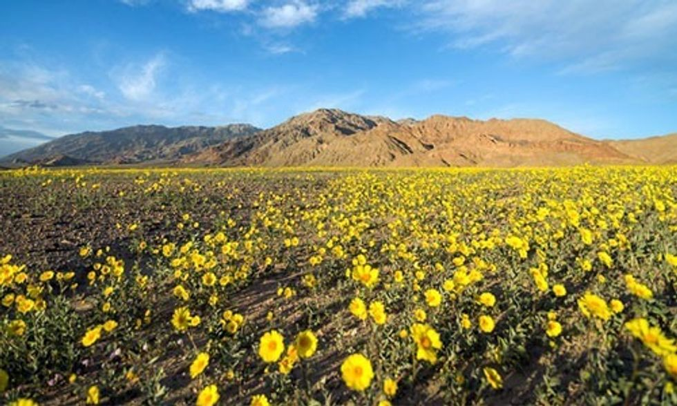 Hottest and Driest Place in North America Is Experiencing a Rare and Spectacular 'Super Bloom'