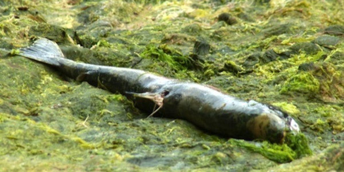 Salmón: catástrofe ambiental en Chile. 5 mil 500 toneladas perdidas.