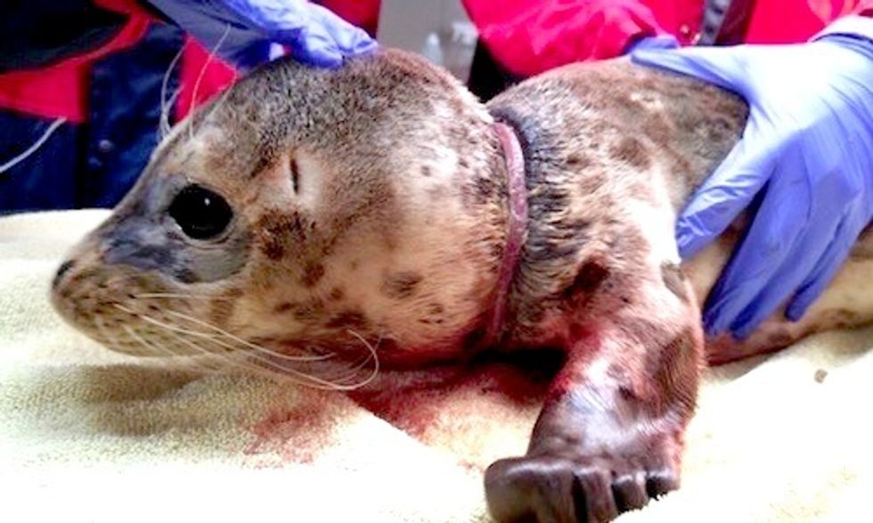 One of the Lucky Ones: Seal Pup Released Back Into the Ocean After Severe Injuries From Marine Debris