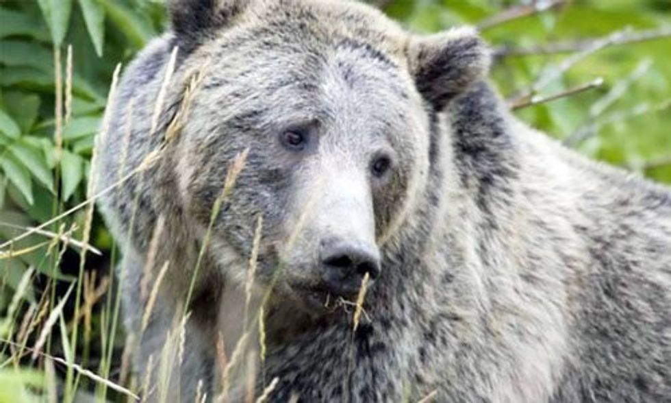Grizzly Bears at Risk of Being Hunted for the First Time in Decades