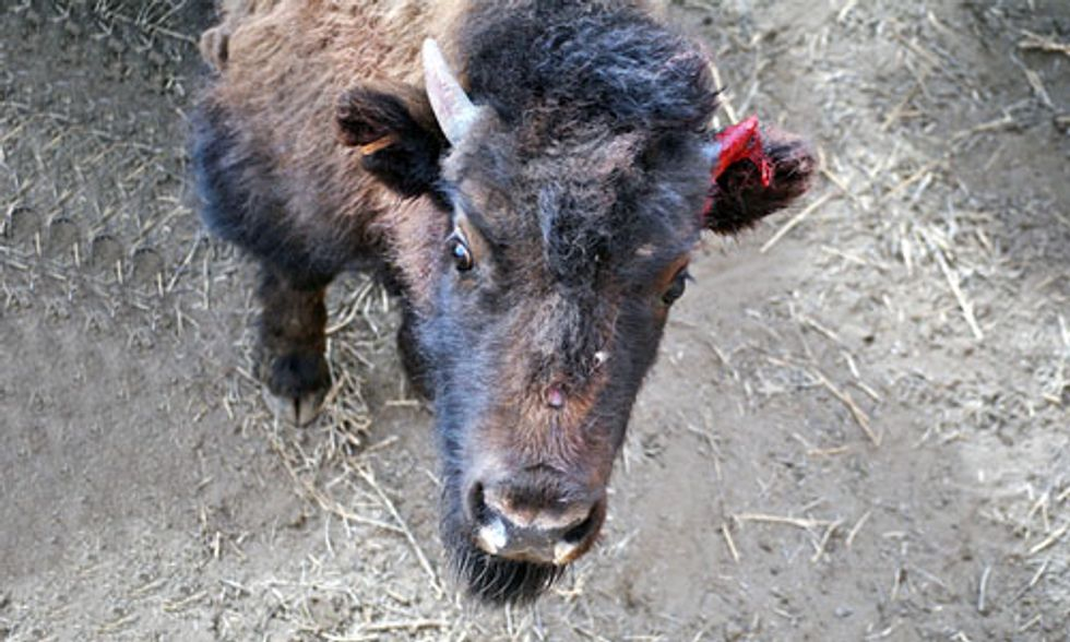 Yellowstone Sends 100 Wild Buffalo to Slaughter