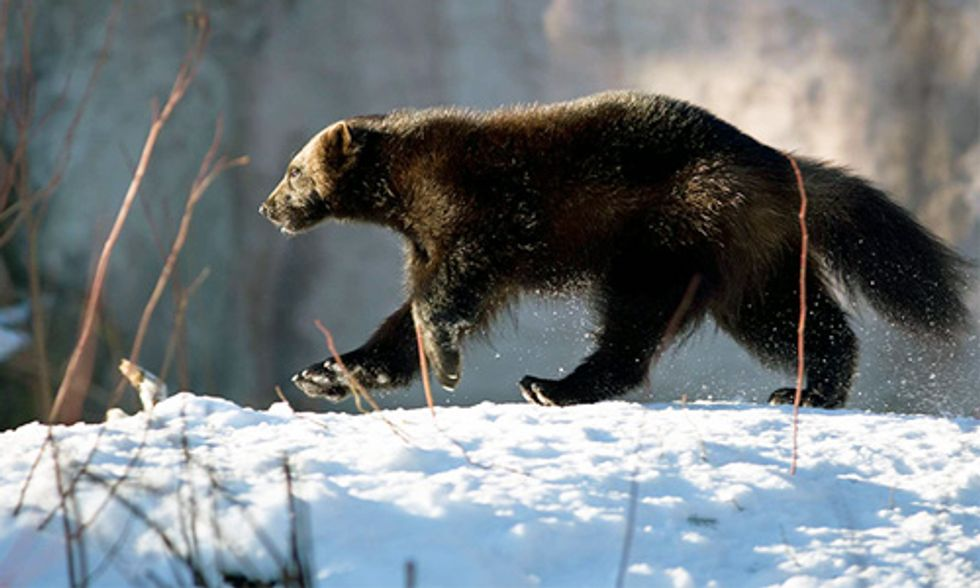 Wild Baby Wolverines Make On-Screen Debut in Remarkable New Documentary