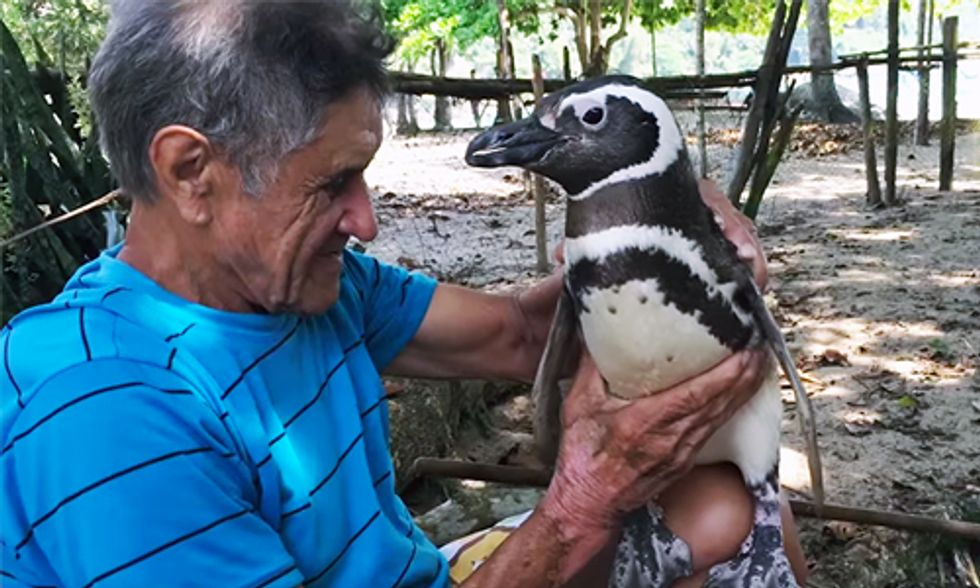Penguin Swims 5,000 Miles Each Year to Visit the Man Who Rescued Him