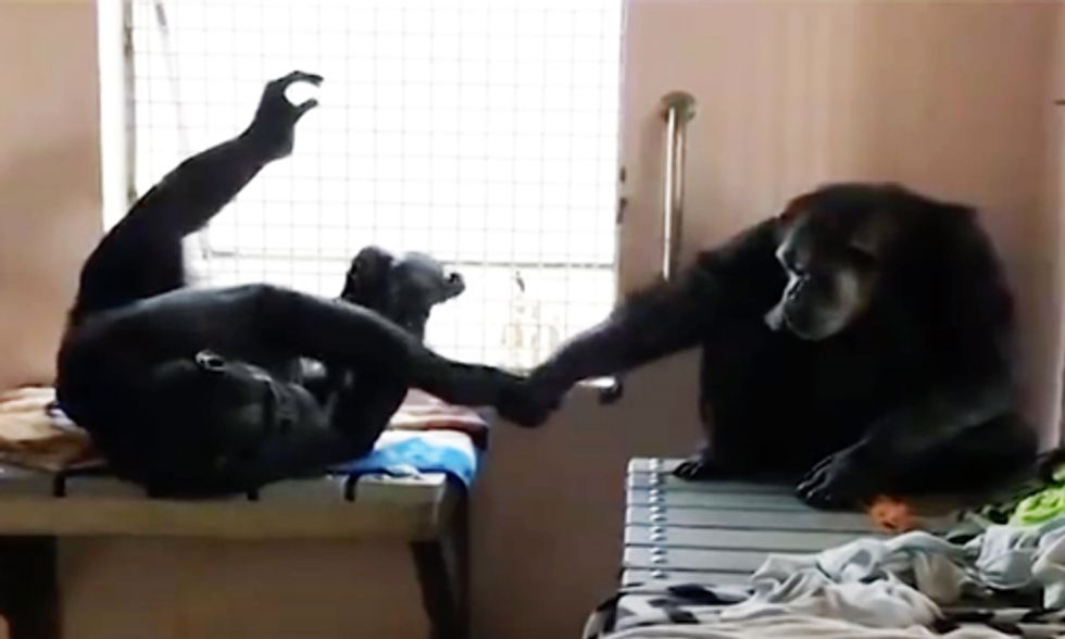 Rescued Chimp Who Lived Alone for 18 Years Won't Stop Holding Hands With New Friend